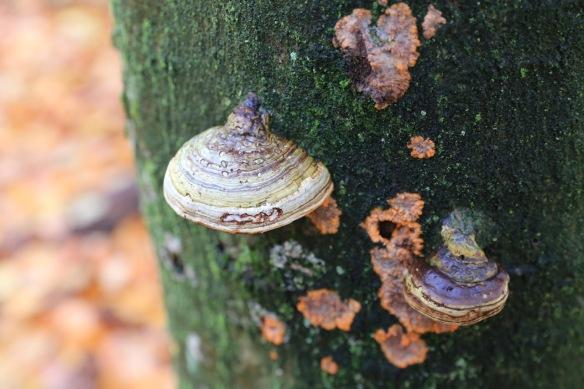 Tinder fungi, 12 November 2017