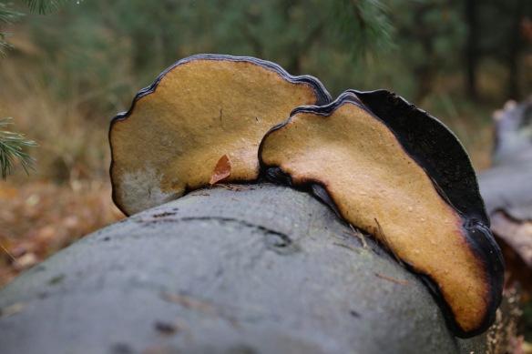 Tinder fungus, 11 November 2017