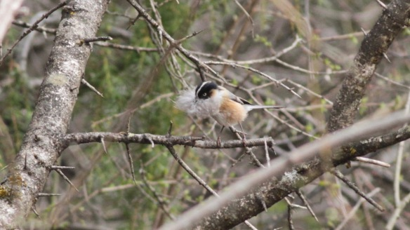 Black-browed tit, 1 April 2018