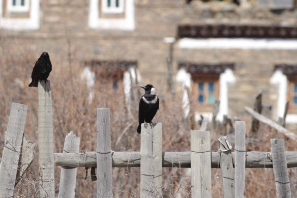 Crows, 2 April 2018