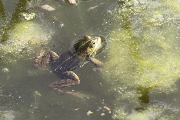 Edible frog, 23 April 2018