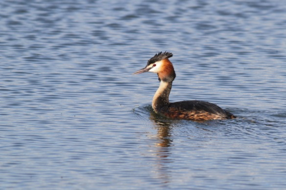 Great crested grebe, 23 April 2018