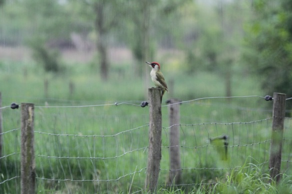 Green woodpecker, 24 April 2018
