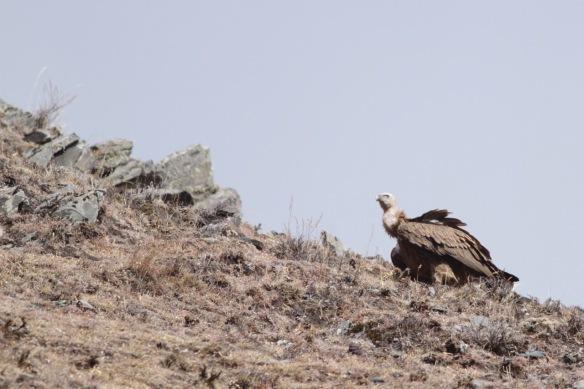 Himalayan vulture, 2 April 2018