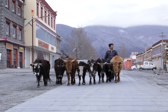 Jiagenba, yaks, 2 April 2018