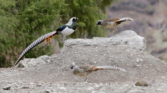Lady Amherst's pheasant three males, 1 April 2018