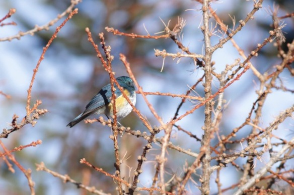 Orange-flanked bush robin