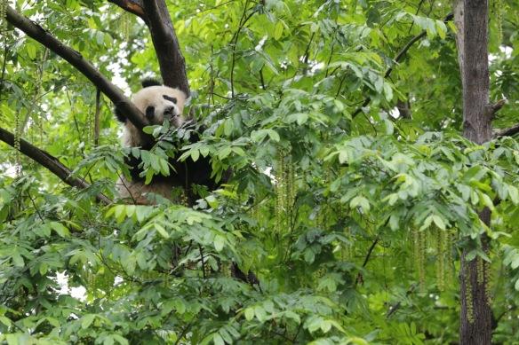 Panda, Chengdu, 31 March 2018
