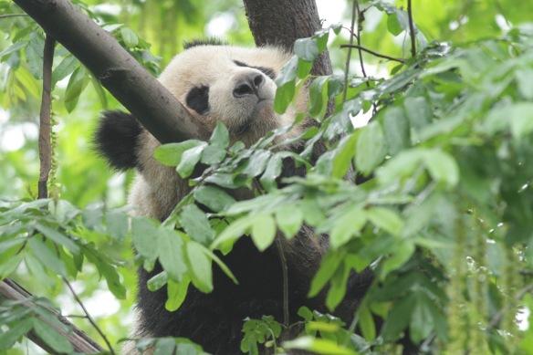 Panda, in Chengdu, 31 March 2018