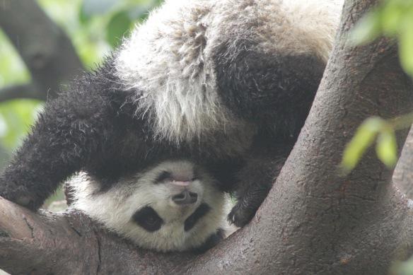 Panda upside down, Chengdu, 31 March 2018