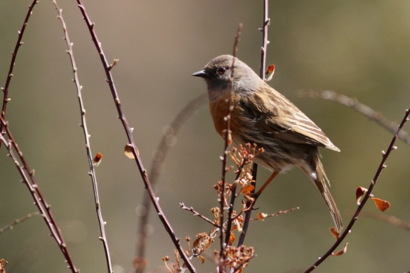 Robin accentor, 2 April 2018