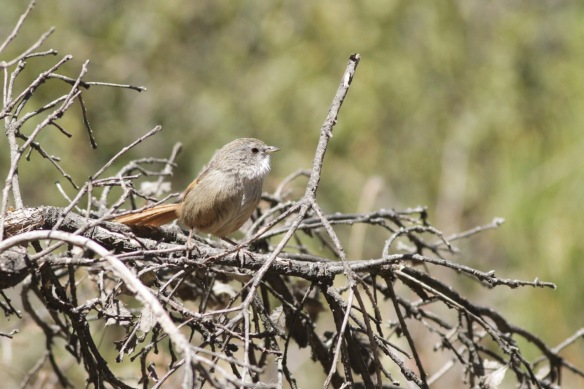Rufous-tailed babbler, on 3 April 2018
