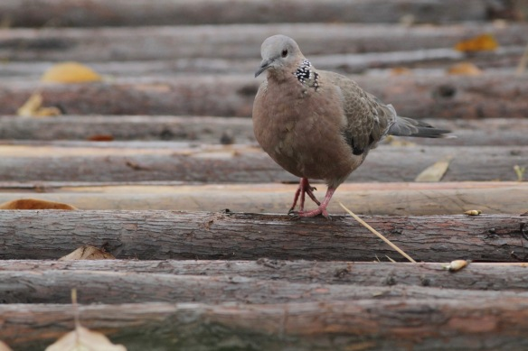 Spotted dove, 31 March 2018