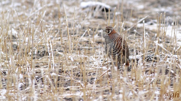 Tibetan partridge, 2 April 2018
