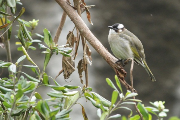 White-browed laughingthrush, 31 March 2018