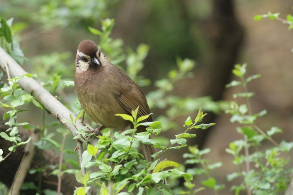 White-browed laughingthrush, on 31 March 2018