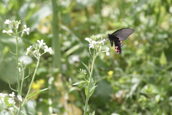 Butterfly, 6 April 2018