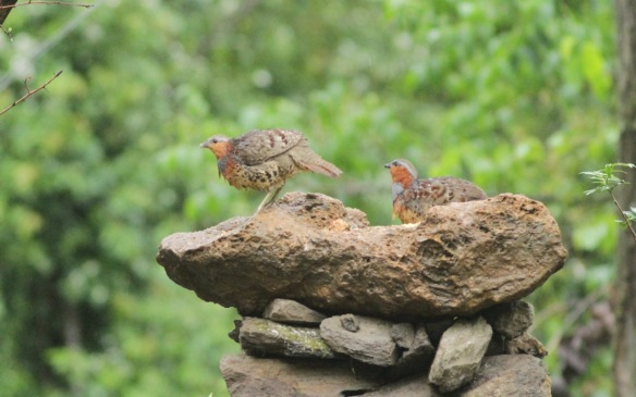 Chinese bamboo partridges, 5 April 2018