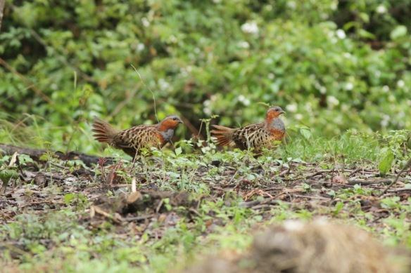 Chinese bamboo partridges, on 5 April 2018