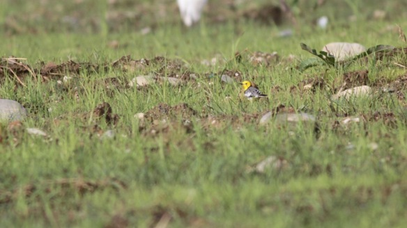 Citrine wagtail, 6 April 2018