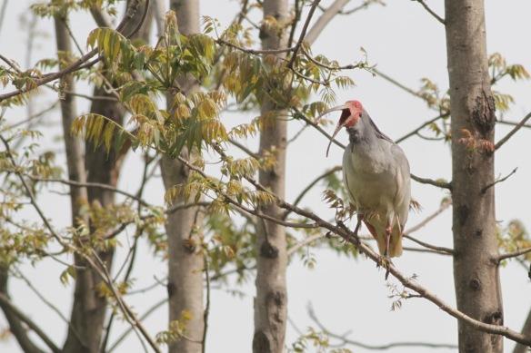 Crested ibis, 6 April 2018