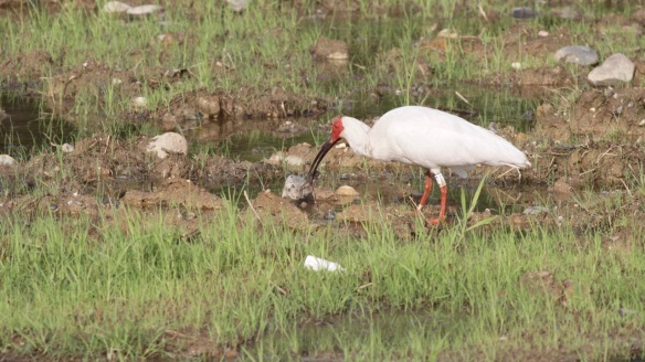 Crested ibis and frog, 6 April 2018