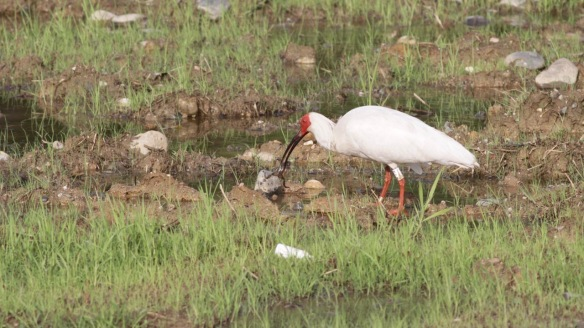 Crested ibis and frog, on 6 April 2018