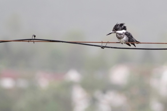 Crested kingfisher, 6 April 2018
