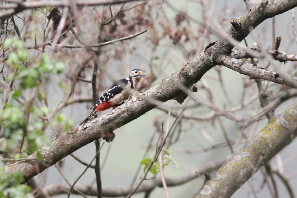 Darjeeling woodpecker, 6 April 2018
