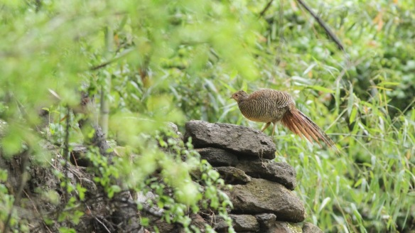 Golden pheasant female, 5 April 2018