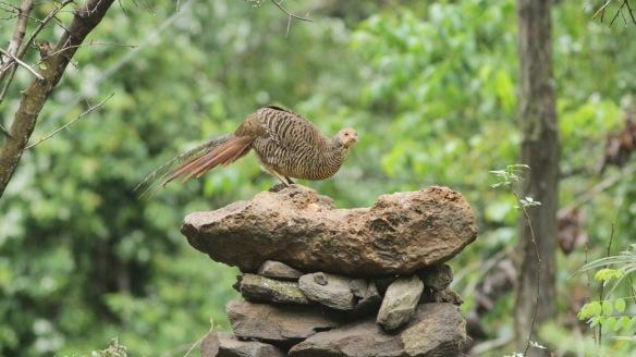 Golden pheasant female, Shaanxi, on 5 April 2018