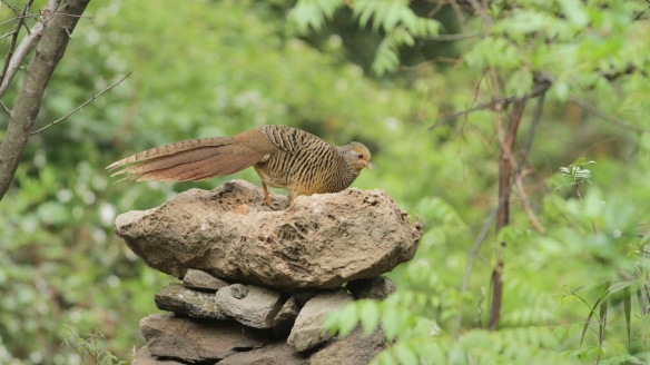 Golden pheasant female on table, Shaanxi, on 5 April 2018
