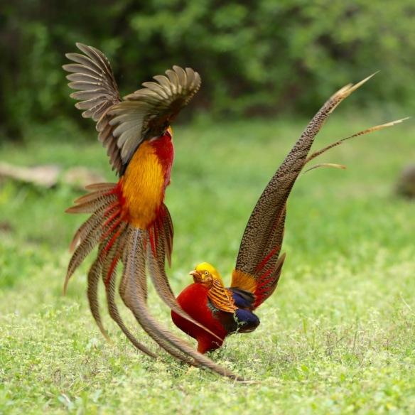 Golden pheasant male fight, 5 April 2018