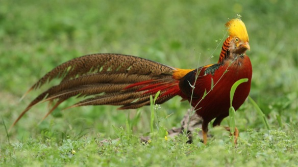 Golden pheasant male on ground, Shaanxi, on 5 April 2018