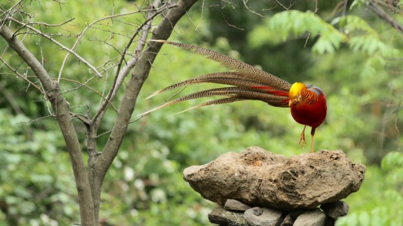Golden pheasant male on table, 5 April 2018
