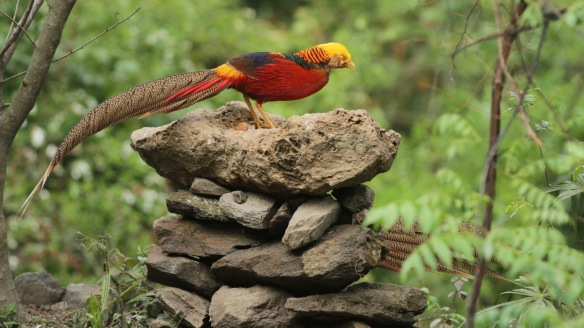 Golden pheasant male on table, Shaanxi, on 5 April 2018