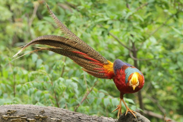 Golden pheasant male on tree, 5 April 2018