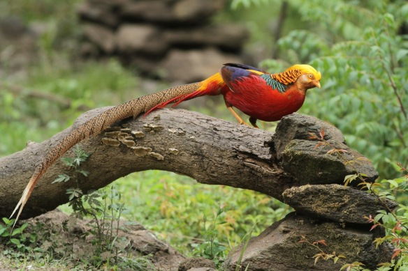 Golden pheasant male on tree, Shaanxi, on 5 April 2018