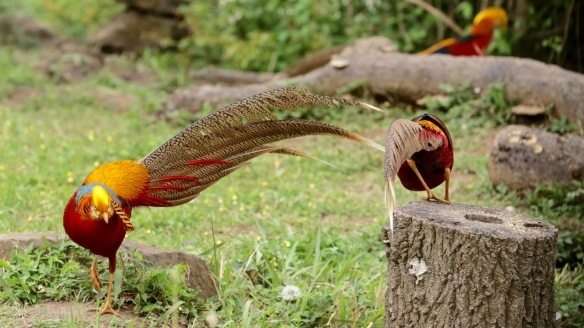 Golden pheasant three males, 5 April 2018