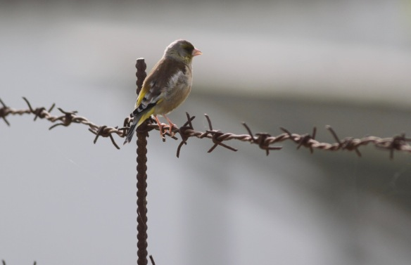 Grey-capped greenfinch, 6 April 2018