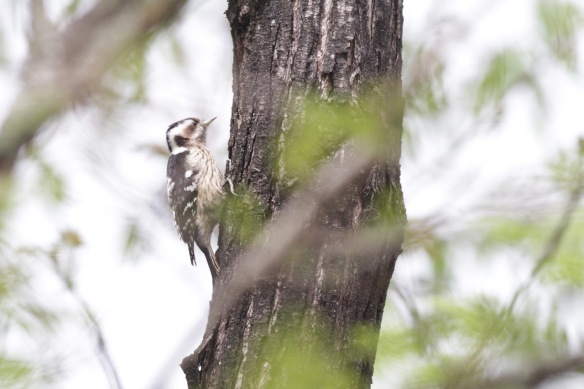 Grey-capped pygmy woodpecker female, 6 April 2017