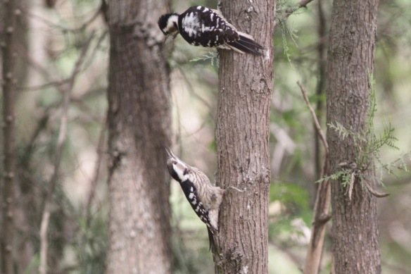 Grey-capped pygmy woodpeckers, 6 April 2017