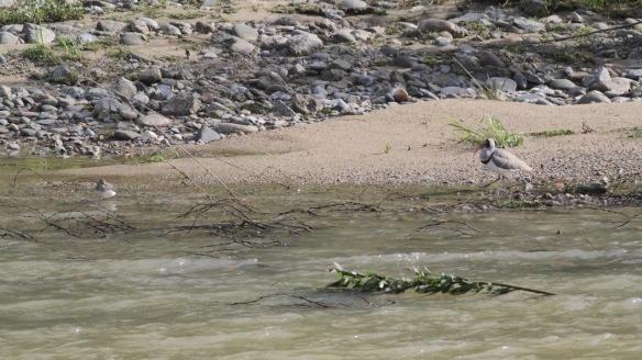 Ibisbill and common sandpiper, 6 April 2018