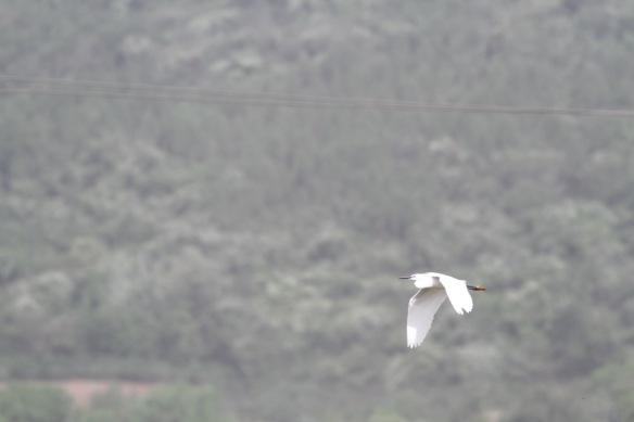 Little egret, 6 April 2018