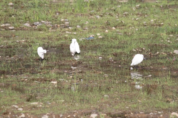 Little egrets, 6 April 2018