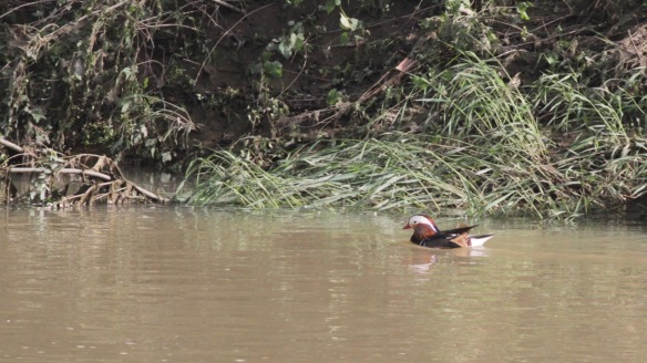 Mandarin duck swims, 6 April 2018