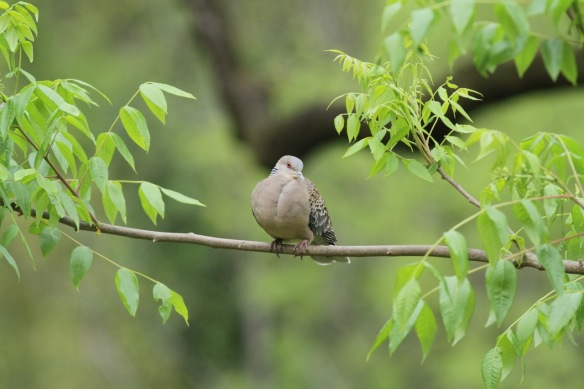 Oriental turtle dove, 5 April 2018