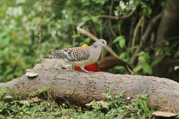 Oriental turtle dove and pheasant, 5 April 2018