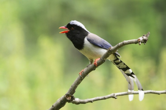 Red-billed blue magpie, on 5 April 2018