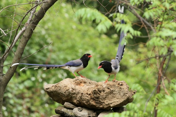 Red-billed blue magpies, 5 April 2018